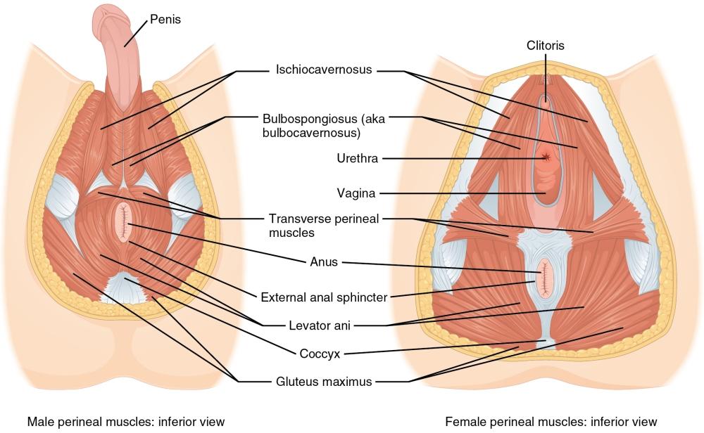 Perinial Muscles.